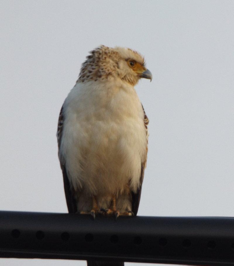 DSCF2379 - コピー縮小幼鳥