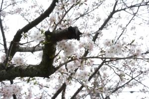 20160406桜03_035