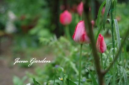 バラの下チューリップ160407
