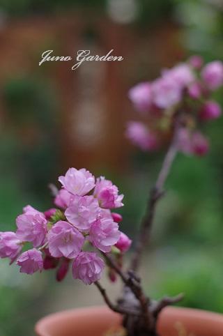 Ⅰ桜160408