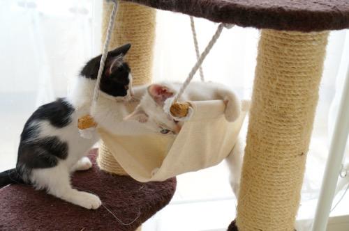 姉妹キャットタワー遊ぶ