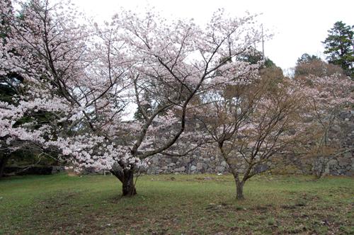 160403桜