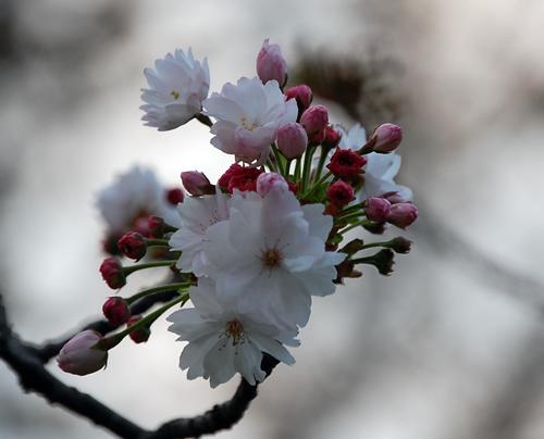 160419奈良八重桜