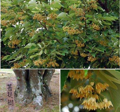 160609菩提樹