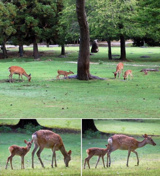 160706親子鹿