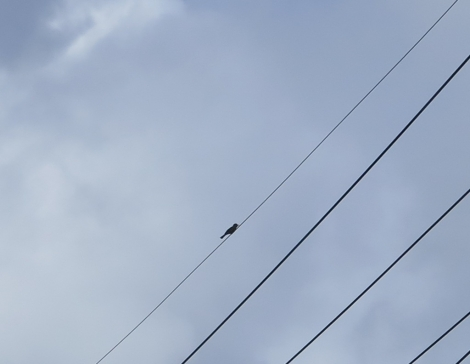 石垣島 鳥