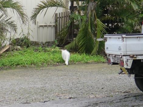 石垣島 ヤエヤマヤシ群落 白にゃんこ