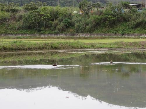 石垣島 カルガモ