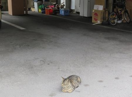 石垣島 島にゃん