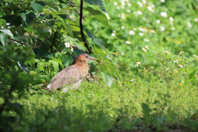 ズグロミゾゴイ(成鳥 (4)