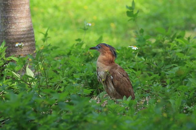 ズグロミゾゴイ(成鳥 (6)