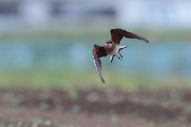 ツバメチドリ (1)
