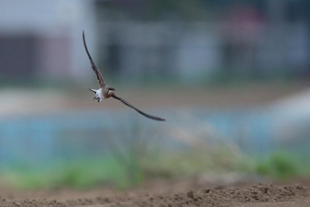 ツバメチドリ (2)