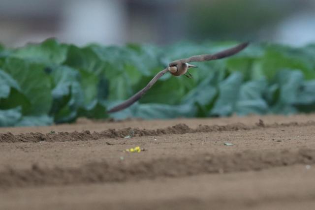 ツバメチドリ (5)