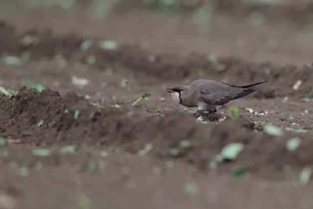 ツバメチドリ (7)