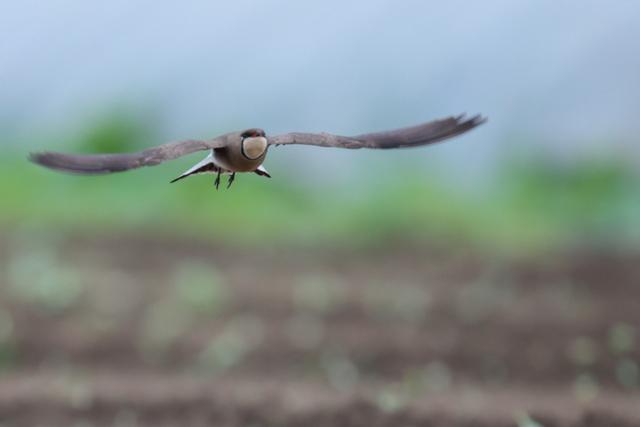 ツバメチドリ (18)