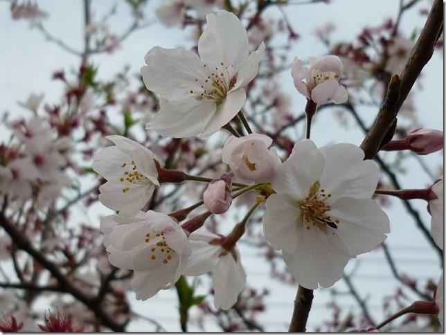201604お花見散歩-02