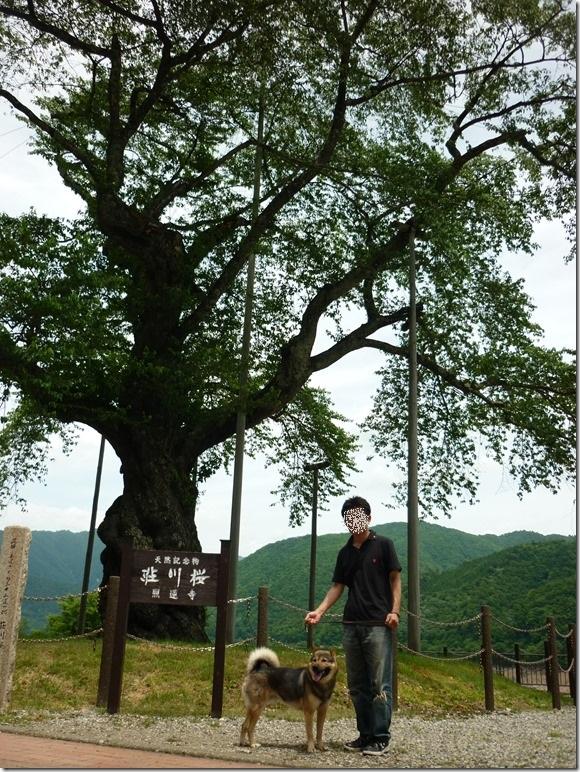 201606-08荘川桜-04