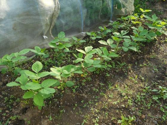 160702 枝豆