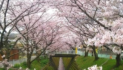 桜並木 (2)