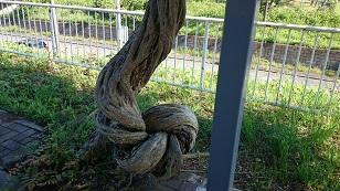 160610すごい木見つけた1