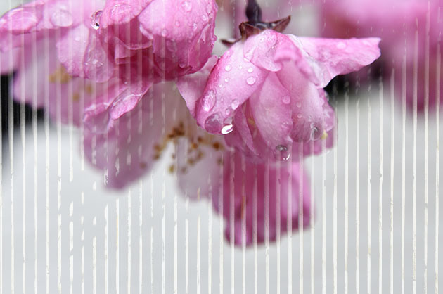 海棠の色鮮やかな花が雨に濡れて綺麗。