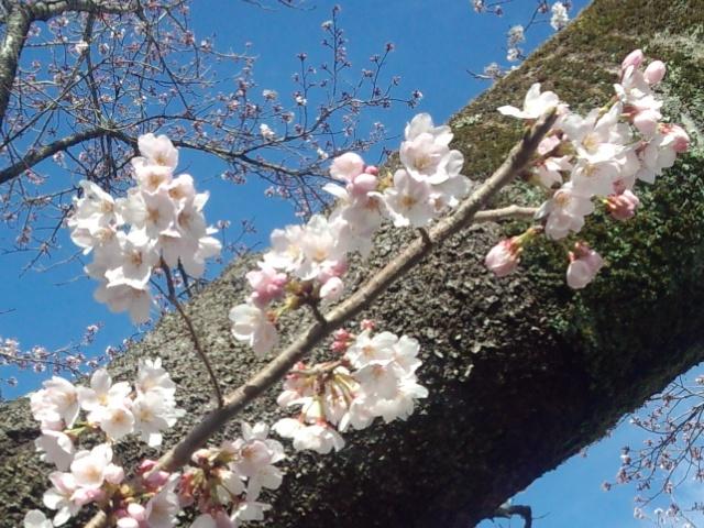 夜の森桜10409