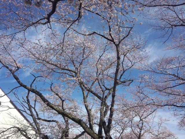 夜の森桜20409