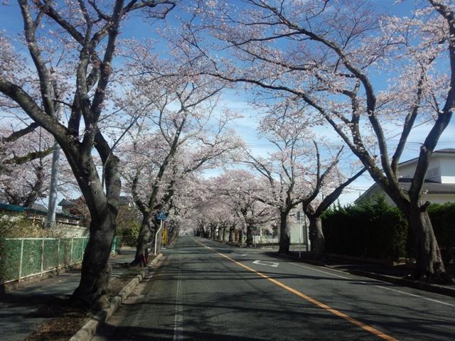 夜の森桜30409