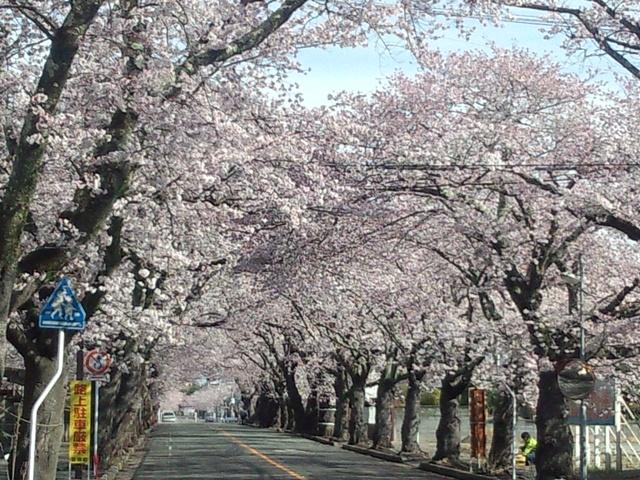 夜の森桜40409