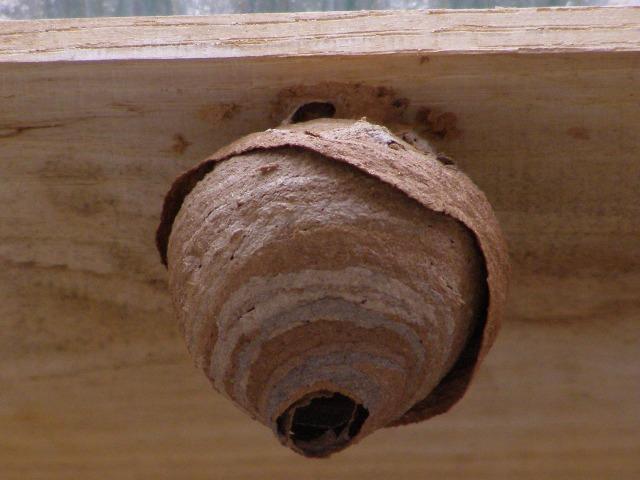 スズメバチの巣0528