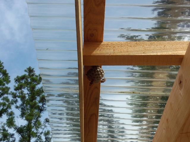 アシナガバチの巣10709