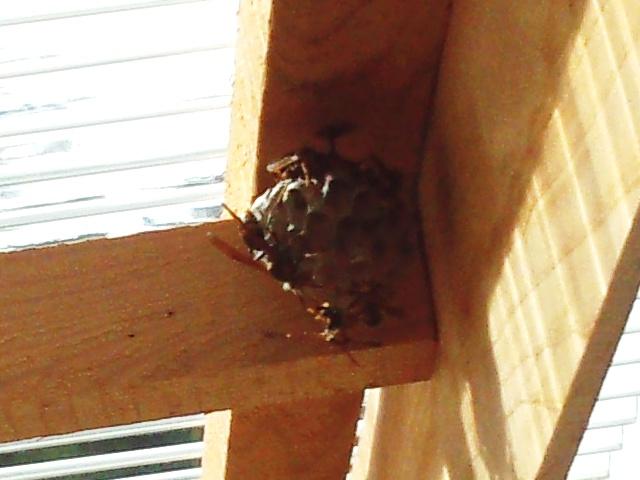 アシナガバチの巣2709