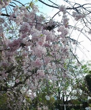 2016年桜2