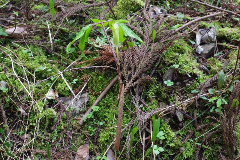 Arisaema_monophyllum_110416_1.jpg