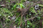 Arisaema monophyllum