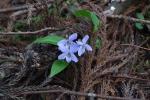 Viola bissetii