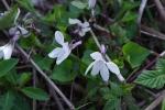 Viola grypoceras f. purpurellocalcarata