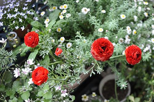 160420_Ranunculus.jpg
