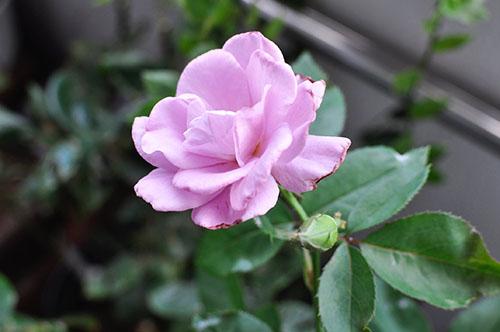 160628_Roseviolet.jpg