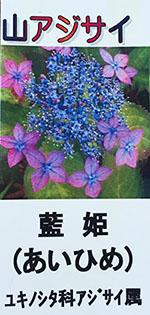 yamaajisai_aihime_tag.jpg