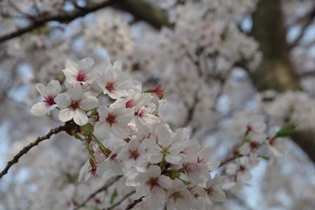 sakura 満開