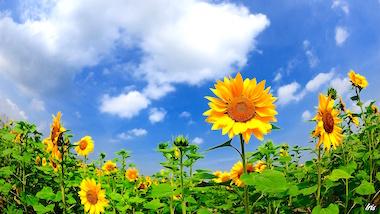Summer-sunflowers-clouds-blue-sky_1366x768.jpg
