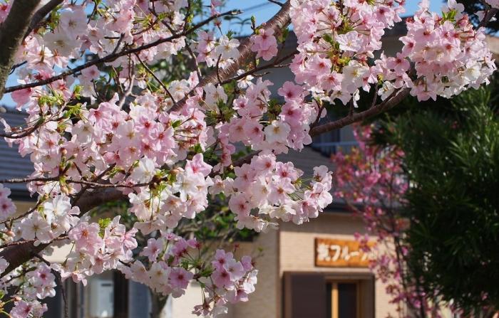 桜 咲く 甑フルーツ園前に