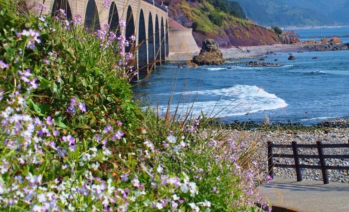 浜大根の花と橋