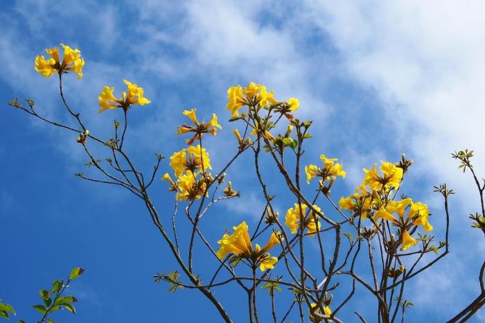 イッペーの花 1