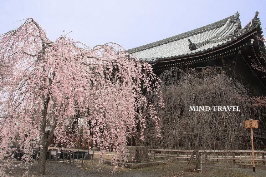 立本寺 しだれ桜3