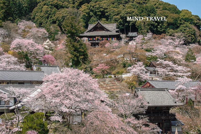 長谷寺 桜