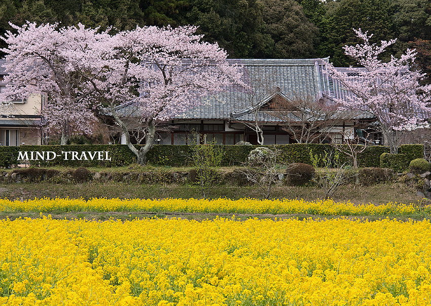 観音寺 菜の花 桜4