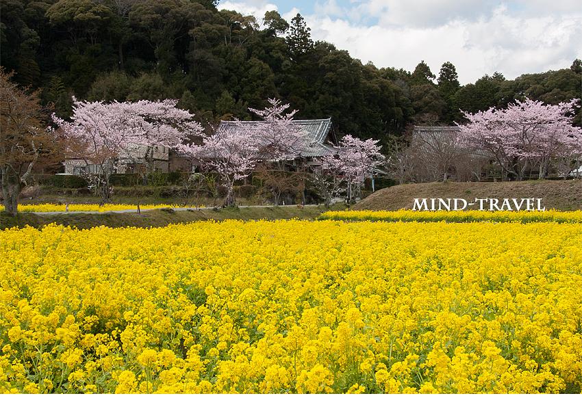 観音寺 菜の花 桜2
